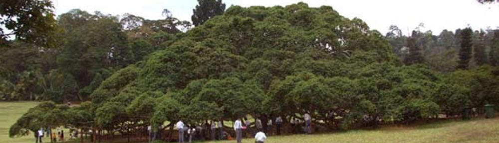 Verdens største trær i Sri Lanka